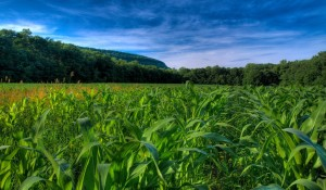 corn_fields_wallpaper_plants_nature_wallpaper_1024_600_widescreen_1079