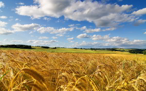 cornfield-summer
