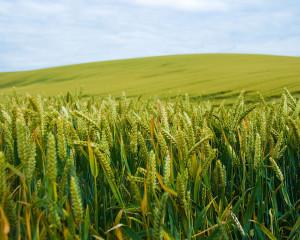 cornfield5
