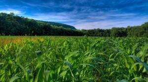 korn-high-quality-x-corn-fields-706353