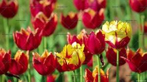lpd-preview-video-flowers1.webmhd.jpg